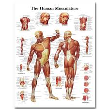Human Body Muscles Images Human Body Muscles Reviews Online Shopping Human Body Muscles