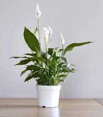 plantes d駱olluantes chambre plante depolluante plante dacpolluante le spathiphyllum plante