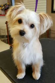 haircut for morkies 47 best morkie cuts images on pinterest doggies animal babies