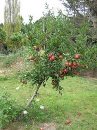 Blackmoor Fruit Trees - apple annie elizabeth blackmoor nurseries my orchard pinterest