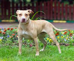 american pitbull terrier kennels usa american pit bull terrier origem u s a grupo cães terrier altura