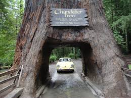Chandelier Drive Through Tree Pictures Of Big Old Trees In Us Fb Drivethru Tree Chandler Tree