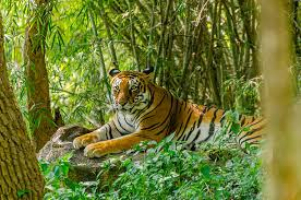 royalty free tiger pictures images and stock photos istock