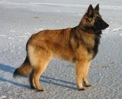 belgian sheepdog tattoo tervuerense herder belgian shepherd tervuren tervueren