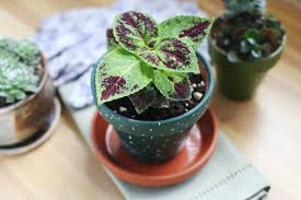 How To Grow Coleus Plants by How To Care For Coleus As A Houseplant Hunker