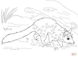 chuditch western quoll coloring page free printable coloring pages