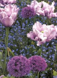 531 best allium images on pinterest garden plants and gardens
