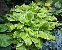 Fragrant Shade Plants - 29 best landscaping plants images on pinterest garden plants