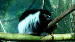 black and white colobus monkey lincoln park zoo chicago youtube