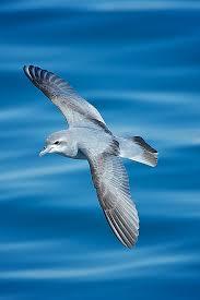 fairy prion new zealand birds online