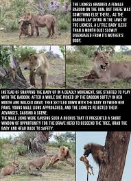 Baboon Meme - baby baboon was saved and protected by this lioness after she