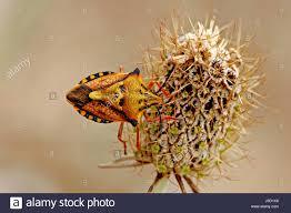 was ist das für ein insekt eine wanze oder was urlaub insekten insects bug bugs carpocoris mediterraneus baumwanze insekten wanzen