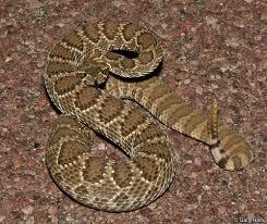 english pattern snake guides northern mohave rattlesnake crotalus scutulatus scutulatus