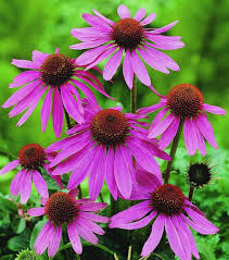 echinacea flower prairie splendor coneflower monrovia prairie splendor coneflower