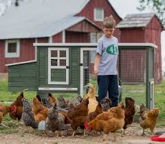 Chickens In The Backyard by 8 Common Myths About Raising Backyard Poultry Tractor Supply Co