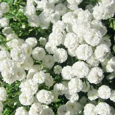 white flower 100 types of the most beautiful white flowers for your garden