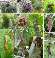 Australasian Plant Disease Notes - symptoms of gray mold on castor plants dark bluish spot a and