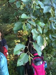 douglas maple acer glabrum pacific northwest native tree trees and shrubs list 6 just another ubc blogs site