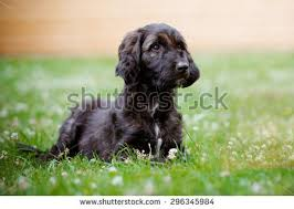 afghan hound walking brindle afghan hound puppy lying down stock photo 296345984