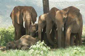 sleeping with the enemy elephants alter rest behavior in risky