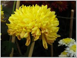 most popular flowers chrysanthemum is one of the most popular flowers next only to