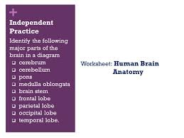 a visual guide to the human brain ppt download