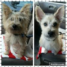 cairn hair cuts ann s pet grooming 126 photos 170 reviews pet groomers 405