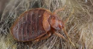 Bed Bugs Smell Return Of The Bed Bug Science News For Students