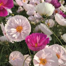 cupcake flowers cupcakes mix cosmos seeds from park seed