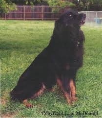 australian shepherd tan black aussies
