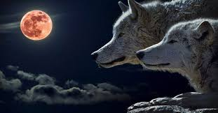 get ready for january s wolf moon a of transformation