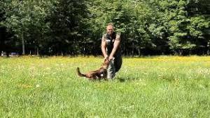 belgian malinois 101 youtube belgian shepherd dog malinois hugo of fanelly youtube