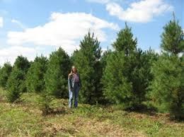 kentucky white pine trees for sale hutton loyd tree farm