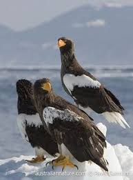 stellers sea eagle wallpapers aguilas buscar con google aguilas pinterest search and
