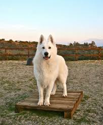 belgian shepherd world championship dances with wolves ranch the home of berger blanc suisse from