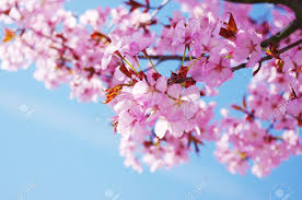 trendy flowering cherry trees with pink cherry tree in blossom
