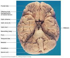 Brain Stem Anatomy Ch 12 Gross Anatomy Of The Brain