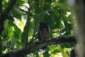 Canopy Birds by Bird Images And Movies From The Tropics Costa Rica Bahamas