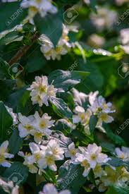 jasmine flowers an old world shrub or climbing plant that bears