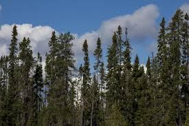 black sw bog spruce trees for sale seedlings transplants