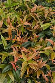 8 best scarletta leucathoe images on pinterest trees and shrubs