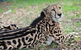 rare nearly 16 year old king cheetah dies at zoo miami miami herald