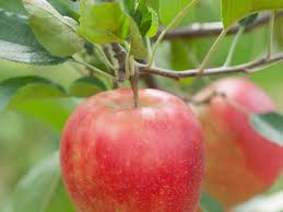 planting and caring for fruit trees sunset magazine