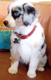 mini australian shepherd 8 weeks miniature australian sheperd i want looks just like a baby casey