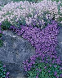 Rock Garden Plant What Are Rock Plants For Rock And Alpine Gardens