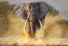 The Blind Men And The Elephant Analysis How Woolly Mammoth Tusks Could Save The African Elephant Daily