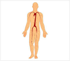 Human Body Picture Human Body Clipart Clipground
