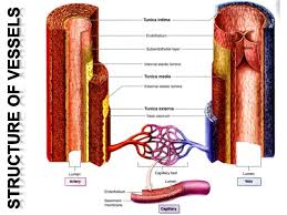 Heart Anatomy Arteries Blood Vessels Arteries Veins And Capillaries