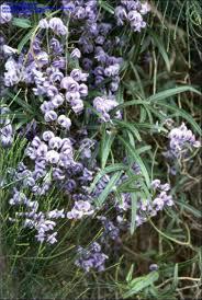 plantfiles pictures wild sarsaparilla wild wisteria climber or