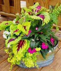 container mix with celosia dragons breath sakata ornamentals jpg